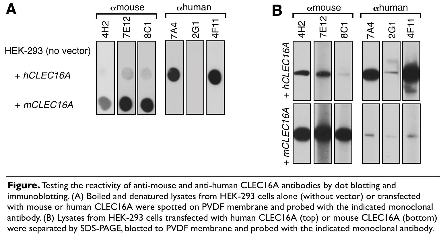 Image thumbnail for Anti-CLEC16A [7A4] monoclonal antibody