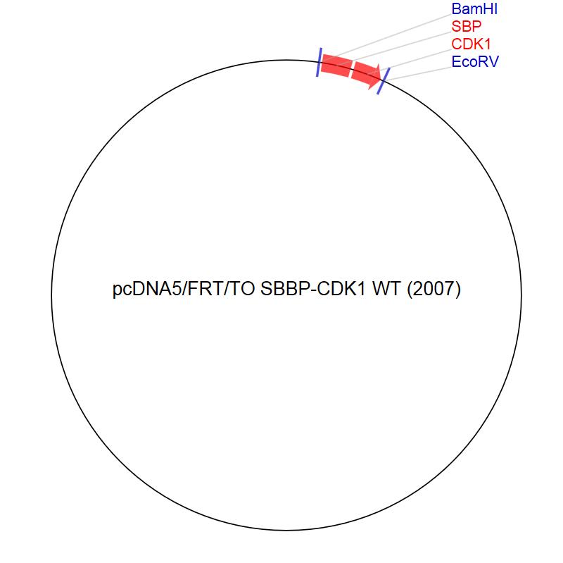 Image thumbnail for pcDNA5/FRT/TO SBBP-CDK1 WT (2007) Vector