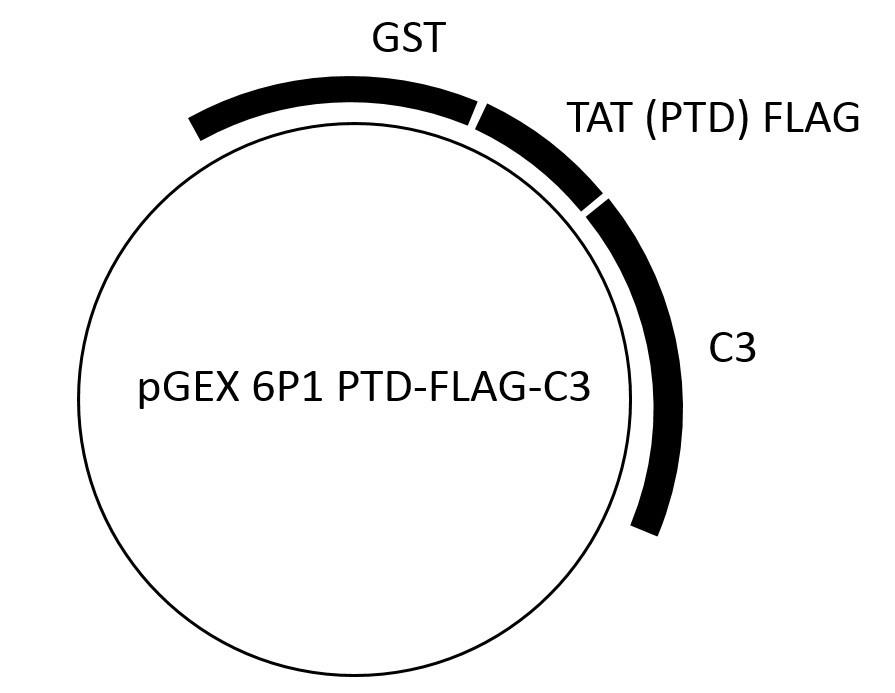 Image thumbnail for TAT-C3 (PTD) exoenzyme Vector