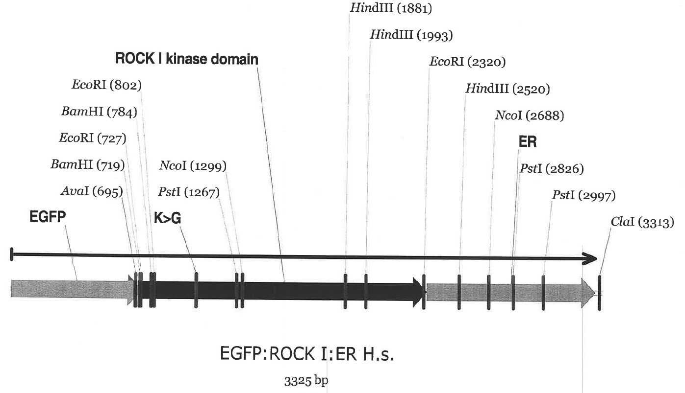 Image thumbnail for Rock1:ER GFP Vector
