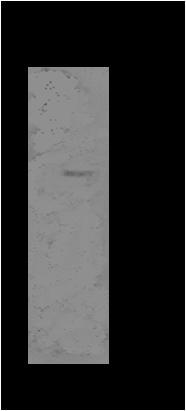 Image thumbnail for Anti-Cytochrome P450 27A1 [V29-P4B8*B2]