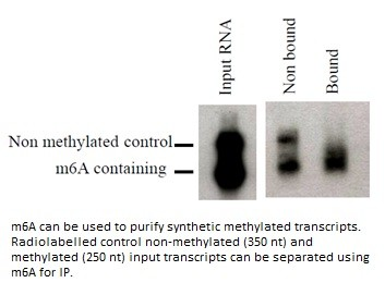 Image thumbnail for Anti-N6-methyladenosine (m6A) [17-3-4-1]