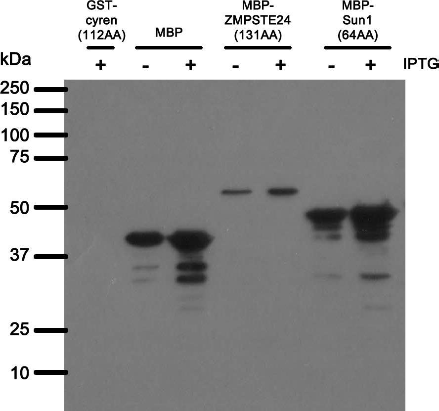 Image thumbnail for Anti-MBP [BBMBP23.42] monoclonal antibody