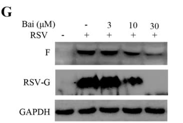Image thumbnail for Anti-RSV G Glycoprotein [133]