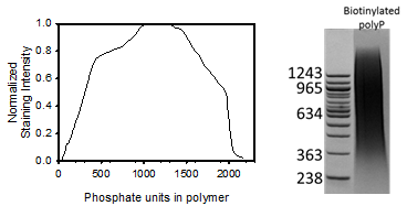Image thumbnail for Biotinylated long chain polyphosphate small molecule (tool compound)