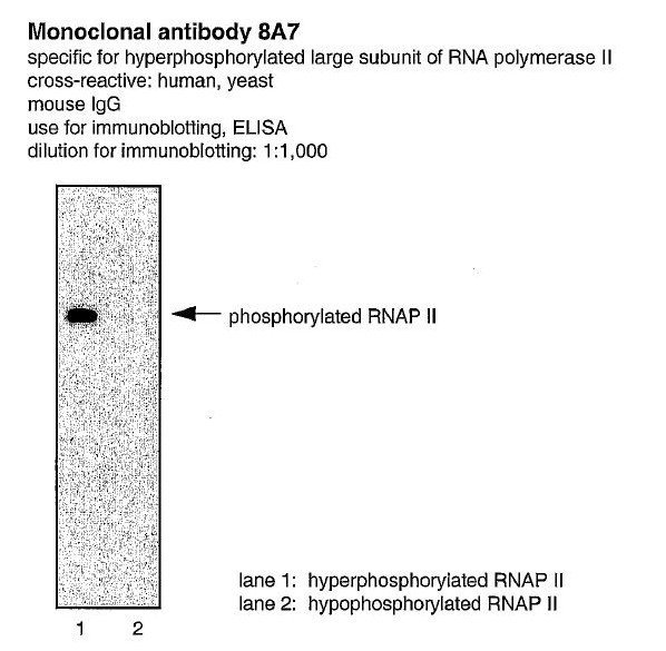 Image thumbnail for Anti-Phospho RNA polII (Ser5) [CTD 8A7]
