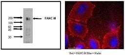 Image thumbnail for Anti-FANCM [M40-P2C6]