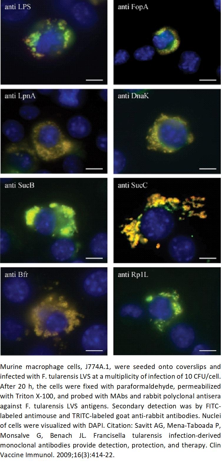 Image thumbnail for Anti-F. tularensis LVS Lipopolysaccharide (LPS) [12] Antibody