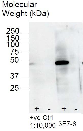 Image thumbnail for Anti-BHMT [3E7]