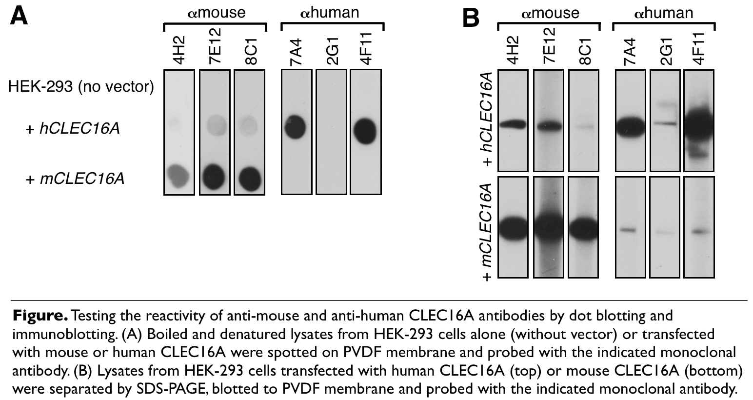 Image thumbnail for Anti-CLEC16A [4F11] monoclonal antibody