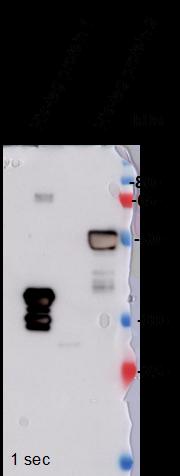 Image thumbnail for Anti-His tag [2B6] monoclonal antibody