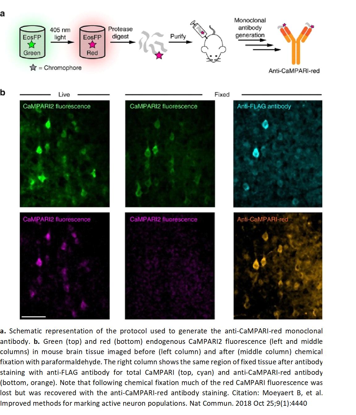 Image thumbnail for Anti-CaMPARI-Red [4F6] antibody