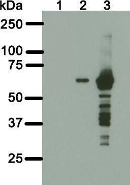 Image thumbnail for Anti–BirA [6C4c7]