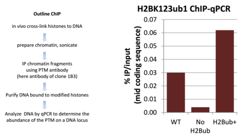 Image thumbnail for Anti-Ubiquitinated Histone H2B (Lys123) [1B3F12/A9]