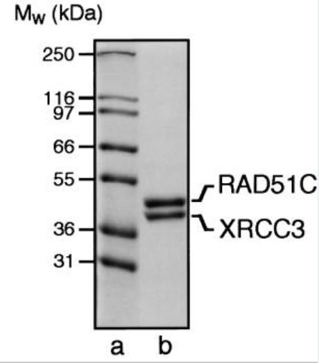 Image thumbnail for Anti-XRCC3 [XRCC3 10F1/6]