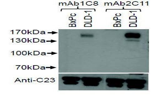 Image thumbnail for Anti-C-kit (CD117) [1C8]