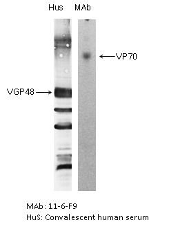 Image thumbnail for Anti-RSV F Glycoprotein [11-6-F9]