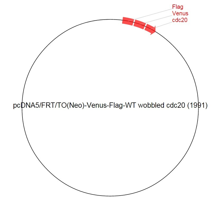 Image thumbnail for pcDNA5/FRT/TO(Neo)-Venus-Flag-WT wobbled cdc20 (1991) Vector