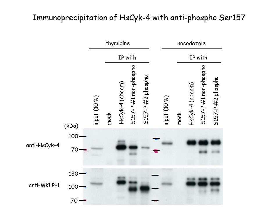 Image thumbnail for Anti-Phospho RacGAP1 (Ser157), Polyclonal [pS157 HsCyk-4]
