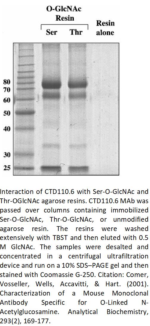 Image thumbnail for Anti-O-GlcNAc (CTD110.6) antibody