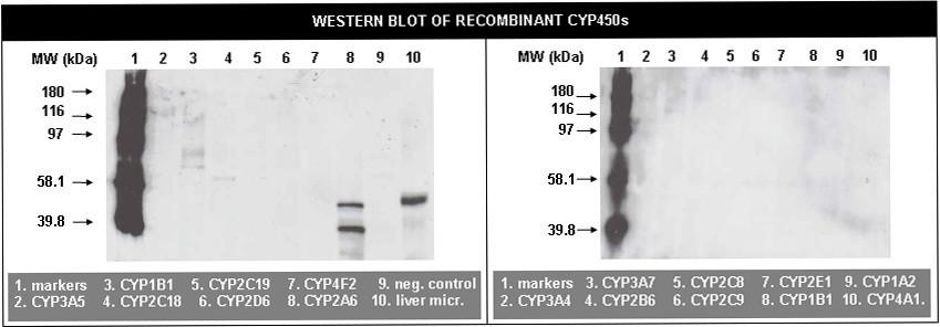 Image thumbnail for Anti-Cytochrome P450 2A6 [RP1.2B4]