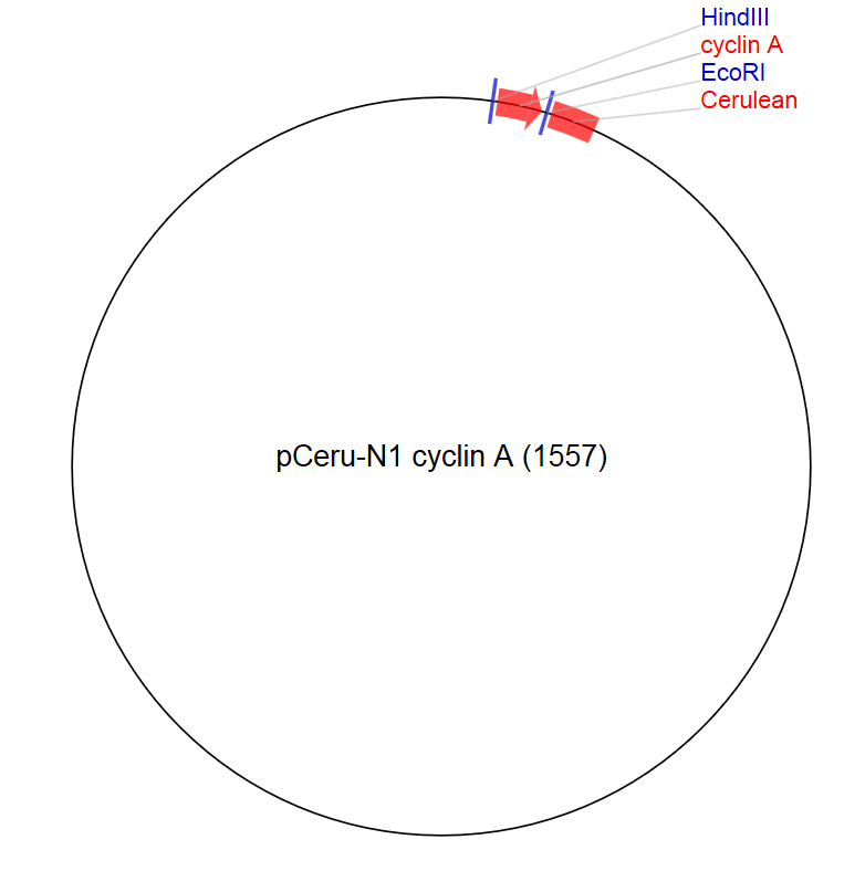 Image thumbnail for pCeru-N1 cyclin A (1557) Vector