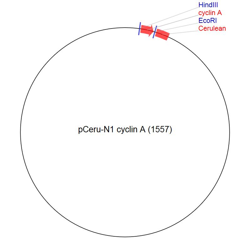 Image thumbnail for pCeru-N1 cyclin A (1557) Vector