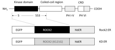 Schematic representation of Rock2 and the conditionally regulated Rock (Cow):ER showing the functional domains; PH, Pleckstrin homology domain, CRT, cysteine-rich domain.   Amino acids 5-553 were joined in frame to eGFP and estrogen receptor hormone binding domain (hbER) moieties to create the Rock (Cow):ER fusion protein. A kinase dead version (Rock2 (Cow):ER-KD) was created by changing lysine 121 to glycine (K121G).