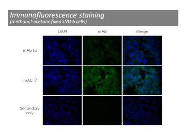 Immunofluorescence was performed on methanol fixed SNU-5 cells using anti-c-Met [13]