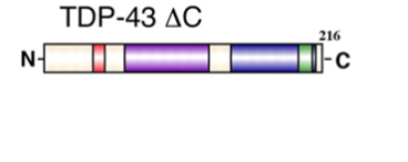 Schematic of C-terminally truncated mutant of TDP-43