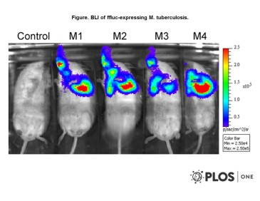 Adapted from Andreu et al. 2010. PLoS One. 5(5):e10777. PMID: 20520722. Figure. BLI of ffluc-expressing M. tuberculosis. Mice were inoculated endotracheally with 5×106 CFU of either wild-type M. tuberculosis (control) or FFluc-producing M. tuberculosis. 20 µl of 30 mg ml−1 luciferin was administered intranasally and mice were imaged 5–10 min after. Mice were contained in a large air-tight box for safety considerations. The image was obtained using an IVIS Spectrum and is displayed as a pseudocolour image of peak bioluminescence (given as photons s−1 cm−2 sr−1). Red represents the most intense light emission while blue correspond to the weakest signal. The colour bar indicates relative signal intensity. Mice were imaged with an integration time of 1 min.