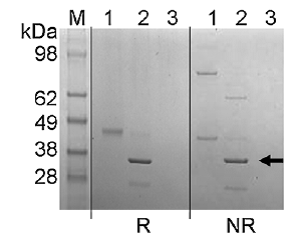 Purity: Coomassie-stained SDS-PAGE of SEC fractions 1, 2 and 3 (see reference) under reducing (R) and non-reducing (NR) conditions. Arrow indicates Endo Tv band in lane 2 of both gels. Reference: Gerlach et al, Molecular BioSystems. 2012;8(5):1472-1481
