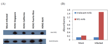 Western blotting (A) or ELISA (B) on a lysate prepared from MDCK cells either mock infected or infected with different strains of influenza A virus using anti-M1 [1G1A12].