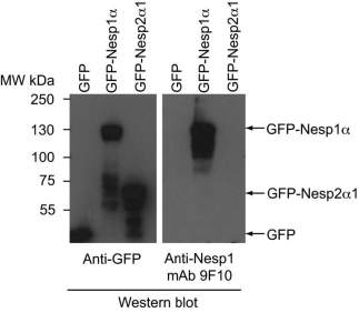HEK293 cells transiently expressing GFP alone, GFP fused to a small Nesp2 isoform (Nesp2a1) or to a Nesp1 isoform (Nesp1a). The small Nesp1 isoform contains the ~300 residue Nesp1 polypeptide that was employed in the immunogen. Total cell lysates were analyzed by western blot employing either a rabbit anti-GFP or culture supernatant from the anti-Nesp1 hybridoma clone (9F10). The antibody is specific for Nesp1.