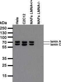 Western blot analysis of LASS2D9 antibody. Whole cell lysate from human (Hela) and mouse (C2C12, mouse adult fibroblasts (MAFs)) cell lines cells were separated on SDS-PAGE gel, transferred to nitrocellulose membrane and blotted with LASS2D9 antibody. The membrane was blocked overnight in blocking buffer (5% nonfat dry milk resuspended in 0.1% Tween and 1X PBS). Both primary and secondary antibodies were diluted in blocking buffer. The predicted molecular weight for lamin A is 74 kDA and for lamin C 65 kDa. The absence of a band in LMNA null MAFs indicated that the antibody specifically recognizes products of LMNA gene.