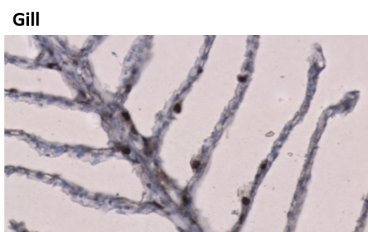 Immunohistochemistry was performed on formalin-fixed paraffin-embedded tissues. Positive membranous immunostaining is observed in Meagre gill tissue using Anti-IgT [Z55F8*C3]. Antigen retrieval step is required (microwave 10 min @ 950W in 0.01M sodium citrate buffer, pH 6.0).