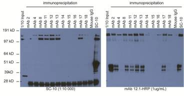 Western blotting using HRP-conjugated mAb 12.1. SNU5 cell lysate was used for immunoprecipitation. SC-10 (rabbit polyclonal) is a control.