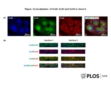 Adapted from Dias et al. 2014. PLoS One. 9(2):e90266. PMID: 24587307. Figure. Co-localisation of Cx40, Cx43 and Cx45 in clone 6.