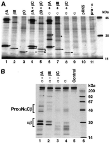 Western Blot used to determine whether Beta C Clone 1 recognizes mono- and dimeric active Beta C. Source: Mellor et al. 2000. J Clin Endocrinol Metab. 85(12):4851-8. PMID: 11134153.