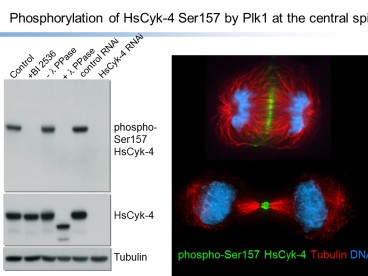 Phosphorylation of HsCyk-4 Ser157 by Plk1 at the central spindle. Western blotting and immunocytochemistry using anti-Phospho RacGAP1 (Ser157), Polyclonal [pS157 HsCyk-4].