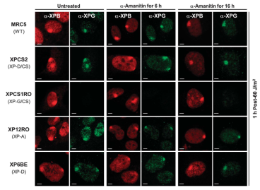 Adapted from Gordon et al. The EMBO Journal (2012) 31, 3550–3563