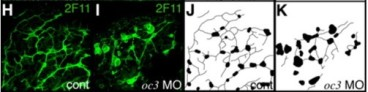 Adapted from Matthews et al. 2008. Dev Dyn. 237(1):124-31. PMID: 18095340. Figure. Confocal projections of 2F11 immunostained 5-dpf whole-mount livers from control (H) and Oc3 morpholino-injected (I) larvae. J, K: Schematic representation of the confocal projections in H and I.
