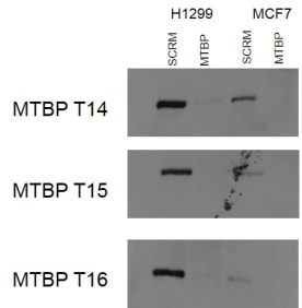 Western blot analysis using H1299 and MCF7 lysates. 7.5% gel, 25ug/well. Antibodies were used at 3ug/ml.