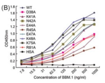 Du et al. 2009. J Mol Recognit. 22(6):465-73. PMID: 19582797. Figure. ELISA experiments showing the binding of BBM.1 to both wild‐type and mutant β2m. Mutations R45A, D38A, and R81A of β2m can significantly impair the interaction between BBM.1 and β2m, mutations E44A and K75A of β2m can moderately impair the interaction, and the other mutations have minor or insignificant effects on the interaction. The concentration of BBM.1 was plotted in log scale but labeled in linear scale.