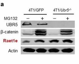 Adapted from Song M, Wang C, Wang H, Zhang T, Li J, Benezra R, Chouchane L, Sun YH, Cui XG, Ma X. Targeting ubiquitin protein ligase E3 component N-recognin 5 in cancer cells induces a CD8+ T cell mediated immune response. Oncoimmunology. 2020 Apr 14;9(1):1746148. doi: 10.1080/2162402X.2020.1746148. PMID: 32363114; PMCID: PMC7185213. Potential immunogens and interacting partners controlled by UBR5. (a) Protein expression of Raet1e in WT vs. Ubr5−/- 4T1 cells treated with MG132 or not, by Western blot analysis.