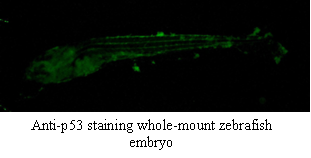 Immunohistochemistry using anti-p53 [V5P4H6*B3] on a Zebrafish embryo.
