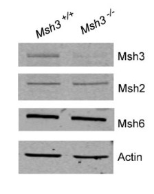 Western blot comparison of Msh3-/- SVG-A cell line and parent unmutated  SVG-A cell line (Msh3+/+). While ~98% of Msh3 protein is lost in the Msh3-/- cells, the abundance of the related proteins Msh2 and Msh6 appear unaffected.  This is relevant to DNA mismatch repair. Reference: Keogh et al., 2017. Nucleic Acids Res gkx650. doi: 10.1093/nar/gkx650.