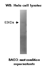 Western blotting was performed on HeLa cell lysates using anti-BAG3 [V65P1E8*D2].(as tissue culture supernatant).