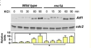 Adapted from Prieto-Ruiz et al. 2020. mBio; 11(1). PMID: 31911490. Figure. Total extracts from growing cultures of wild-type and rnc1Δ strains, treated with 0.6M KCl for the indicated times, were resolved by SDS-PAGE, and the Atf1 protein levels were detected by incubation with anti-Atf1. Anti-Cdc2 was used as a loading control. *, P<0.05.