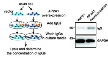 Adapted from Chen et al. Genome Biol. 2020; 21: 152. Overexpression of AP2A1 results in increased endocytosis of IgGs. Left panel shows the experimental design. A549 cells were transduced with AP2A1 overexpression or vector plasmid and treated with IgG. Cellular IgGs were determined by western blot (right panel). Primary antibody is anti-AP2.